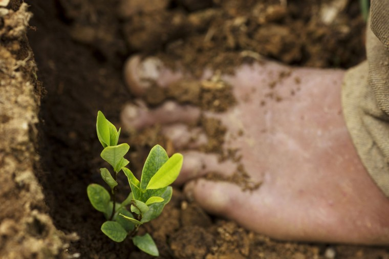 In this March 13, 2015 photo, a seedling grows next to a barefooted Donato Mosco, as he weeds a coca field, in La Mar, province of Ayacucho, Peru. Peru overtook Colombia in 2012 as the worldís No. 1 cocaine-producing nation. (AP Photo/Rodrigo Abd)