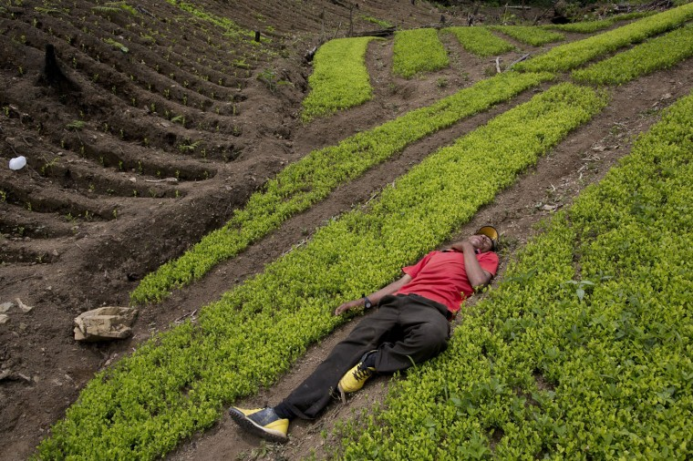 In this March 13, 2015 photo, coca farmer Alfredo Mosco, 44, who had polished off a bottle of cane liquor by midday, sleeps in his field of coca seedlings, in La Mar, province of Ayacucho, Peru. Mosco is a small coca farmer who provides work for young villagers. (AP Photo/Rodrigo Abd)