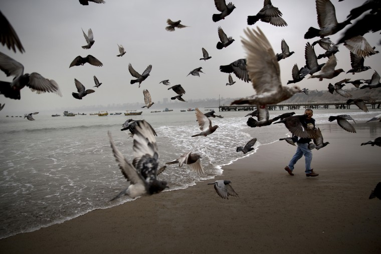 In this May 13, 2015 photo, Fabian Espinel feeds pigeons on Fishermen's Beach in Lima, Peru. Espinel, who's been going to the beach every morning at 5:30am for that past 10 years, says he uses the sea to help treat gout. The 65-year-old says the sea is essential, heals and gives strength. (AP Photo/Rodrigo Abd)