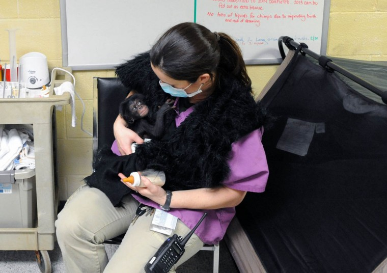 Keeva, a chimpanzee born two weeks ago at the zoo, rests in the arms of Claire MacNamara, Chimp Forest Area manager, after bottle feeding. (Kim Hairston/The Baltimore Sun)