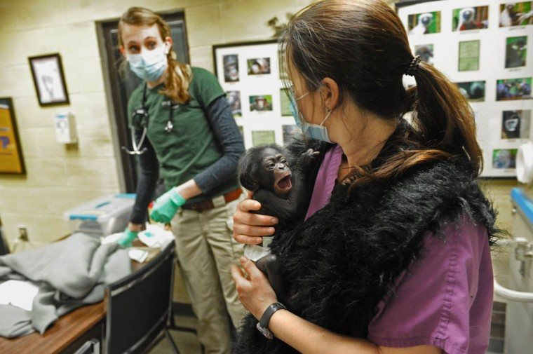 Dr. Anne Rivas, a Maryland Zoo in Baltimore veterinarian, checks on the health of Keeva, a chimpanzee born two weeks ago at the zoo, as Claire MacNamara, Chimp Forest Area manager, holds the chimp. The baby is held for 24 hours a day, just as her mother would. Keeva was removed from her mother, Carole, who was not taking care of her. (Kim Hairston/The Baltimore Sun)