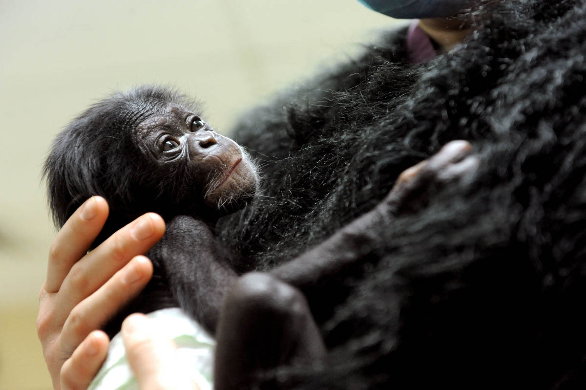 Baby chimpanzee moves to new home and surrogate mom