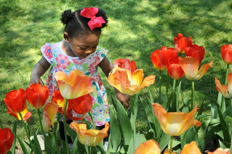 Ava Douglass, 15 months old, from Nottingham, looks at the tulips in bloom at Sherwood Gardens. (Algerina Perna/Baltimore Sun)