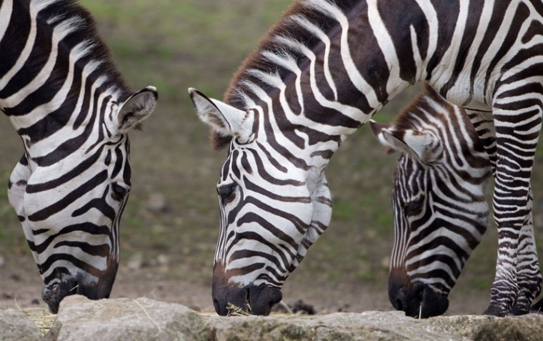 Zebras feed at the zoo in Muenster, western Germany on Tuesday. (FRISO GENTSCH/AFP/Getty Images)