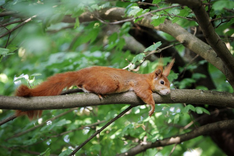 A squirrel rests on a tree in a park in Mainz, western Germany, on Tuesday. Meteorologists forecast temperatures across the country of 86 degrees and higher. (FREDRIK VON ERICHSEN/AFP/Getty Images)
