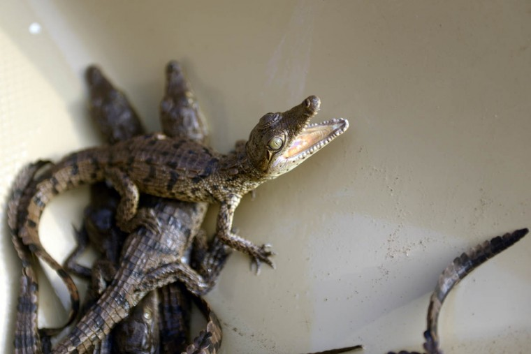 10 day-old crocodiles (Crocodylus acutus) remain at a small farm in Barra de Santiago, El Salvador. (Marvin Recinos/Getty Images)