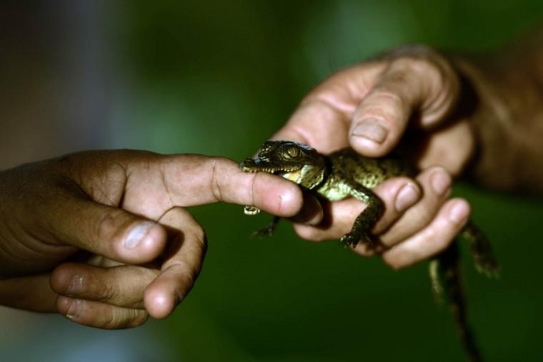 A man holds a 10 day-old crocodile (Crocodylus acutus) at a small farm in Barra de Santiago, El Salvador. (Marvin Recinos/Getty Images)