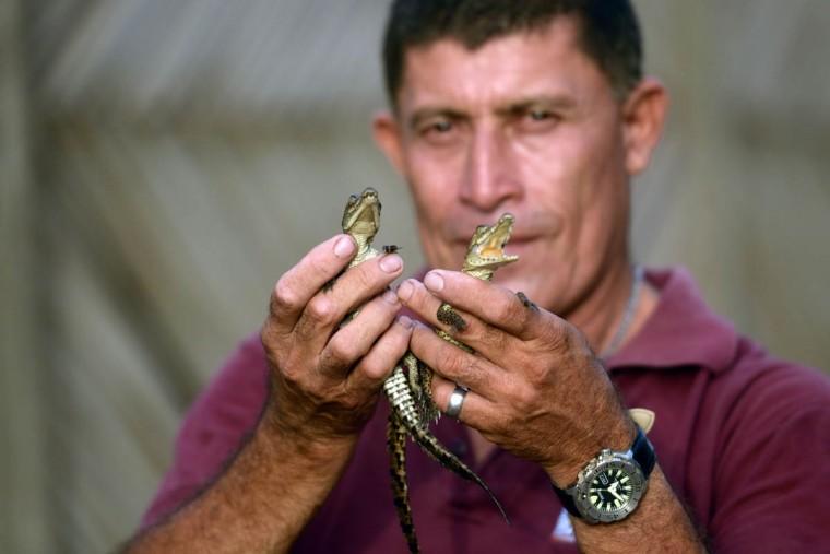 Jose Villeda holds two 10 day-old crocodiles (Crocodylus acutus) at his small farm in Barra de Santiago, El Salvador. (Marvin Recinos/Getty Images)