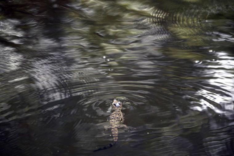 A baby crocodile (Crocodylus acutus) is released on the banks of a stream protected by authorities in Barra de Santiago,El Salvador. (Marvin Recinos/Getty Images)