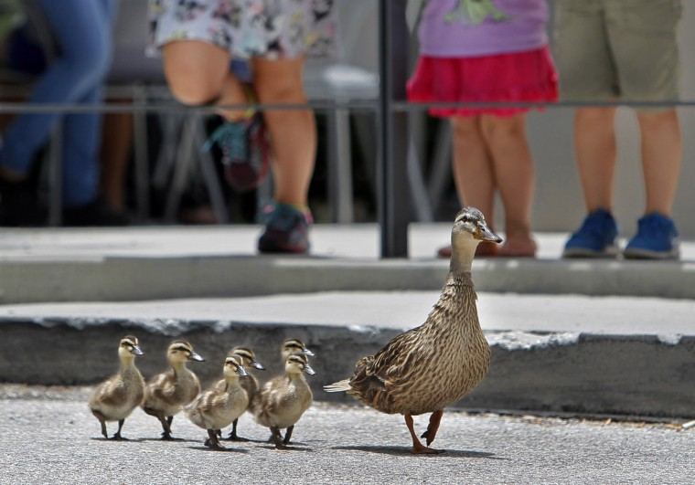 A mother duck draws a crowd as she leads her ducklings across a parking lot at the Countryside Village shopping center past a restaurant and towards a retention pond in Tampa, Fla. (Jim Damaske/The Tampa Bay Times via AP)