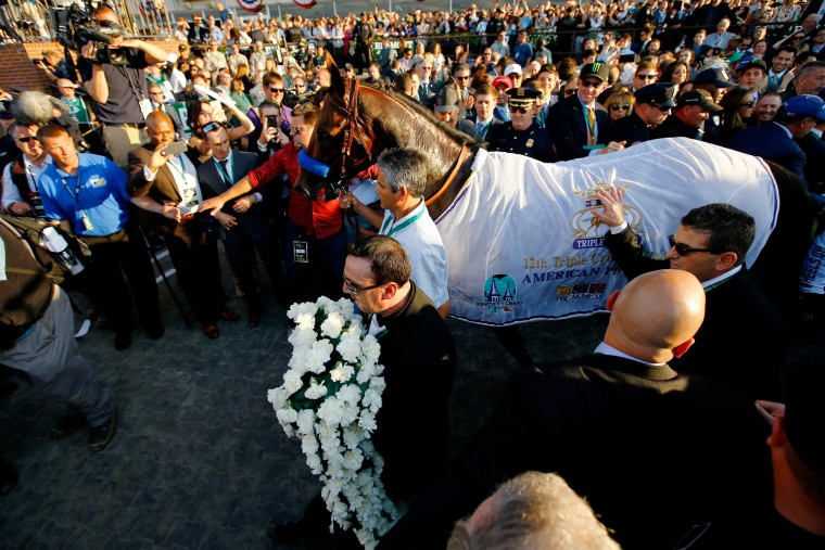 American Pharoah #5 is brought into the winners circle after winning the 147th running of the Belmont Stakes at Belmont Park on June 6, 2015 in Elmont, New York. With the wins American Pharoah becomes the first horse to win the Triple Crown in 37 years. (Al Bello/Getty Images)