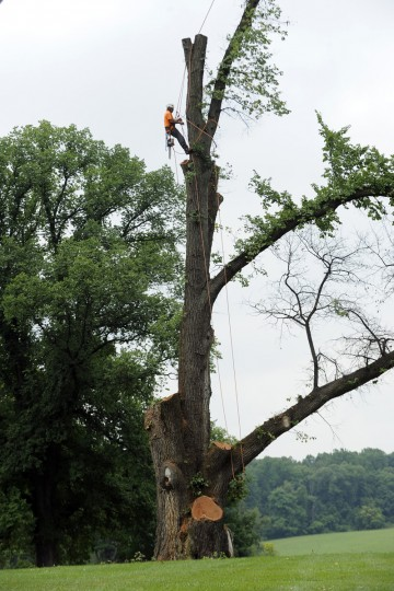Jose Reyes, of Adirondack Tree Experts cuts down a two century old Elm Tree at Belmont Manor. (Tom Brenner / Baltimore Sun)