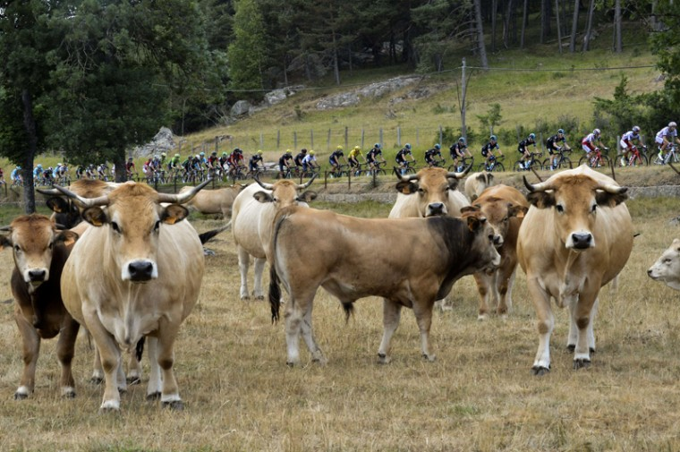 The pack rides past cows during the 15th stage of the 102nd Tour de France cycling race on Sunday, between Mende and Valence, southern France. (JEFF PACHOUD/AFP/Getty Images)