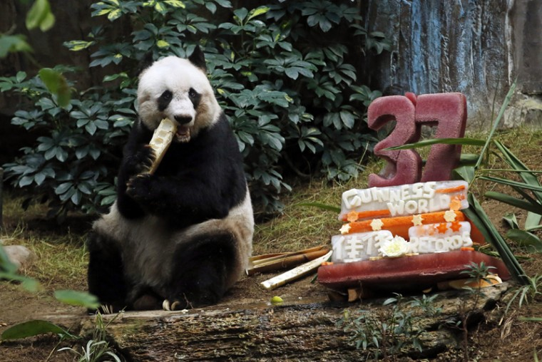 "Giant panda Jia Jia eats bamboo next to her birthday cake made with ice and vegetables at Ocean Park in Hong Kong, Tuesday, July 28, 2015. Jia Jia, 37, broke the Guinness World Records title for ""Oldest Panda Living in Captivity"" on Tuesday. (Kin Cheung/AP)"