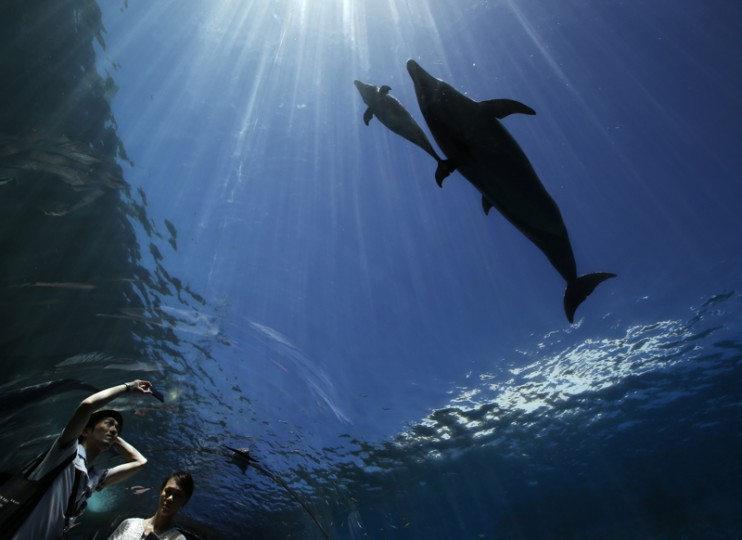 A six-day old baby bottlenose dolphin, along with its mother dolphin, swims over visitors at the Hakkeijima Sea Paradise aquarium-amusement park complex in Yokohama, southwest of Tokyo, on Tuesday. Temperatures in Tokyo's metropolitan area neared around 96 degrees on Tuesday. (Shuji Kajiyama/AP)