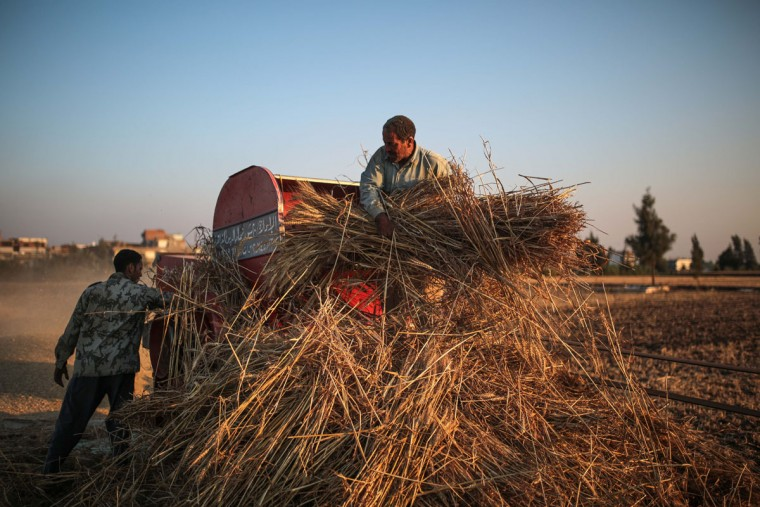 In this Thursday, May 14, 2015 photo, farmers harvest wheat in their farm in a village in the Nile Delta town of Behira, 300 kilometers (186 miles) north of Cairo, Egypt. Most Egyptians have always lived in the fertile stretch along the Nile, which accounts for less than 10 percent of the countryís territory, and which is also the nationís breadbasket. (AP Photo/Mosa'ab Elshamy)