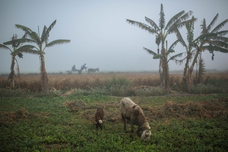 In this Thursday, May 7, 2015 photo, livestock graze as villagers ride a cart on their way to their farm, in a village in the Nile Delta town of Behira, 300 kilometers (186 miles) north of Cairo, Egypt. Most Egyptians have always lived in the fertile stretch along the Nile, which accounts for less than 10 percent of the countryís territory, and which is also the nationís breadbasket. (AP Photo/Mosa'ab Elshamy)