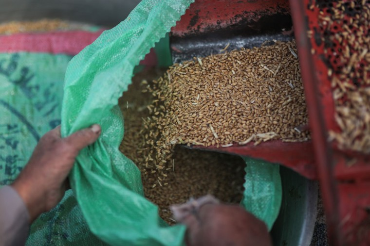 In this Thursday, May 14, 2015 photo, a farmer collects wheat seeds during the harvest process, in a village in the Nile Delta town of Behira, 300 kilometers (186 miles) north of Cairo, Egypt. Egyptís expanding urban settlements are increasingly snuffing out fertile farmland along the Nile River to make way for the growing population in this country of 90 million people. (AP Photo/Mosa'ab Elshamy)