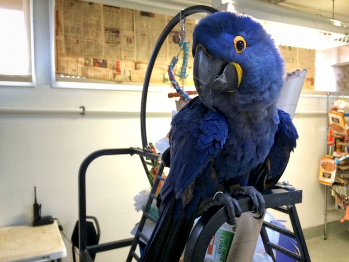 """Hello"" is one of the two words Margaret, our blue hyacinth macaw, knows how to say. Checking in with her for a special meet and greet."