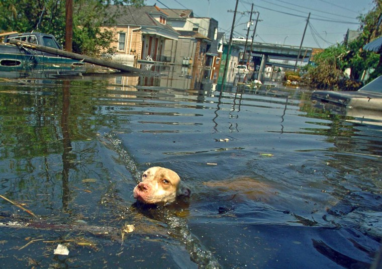 September 4, 2005 -  A pit bull swims among debris in the eastern New Orleans area six days after Hurricane Katrina devastated much of the gulf coast. (Karl Merton Ferron/Baltimore Sun)