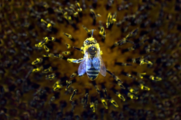 A bee collects pollen from a sunflower on September 18, 2015 in Dresden, eastern Germany. ARNO BURGI/AFP/Getty Images