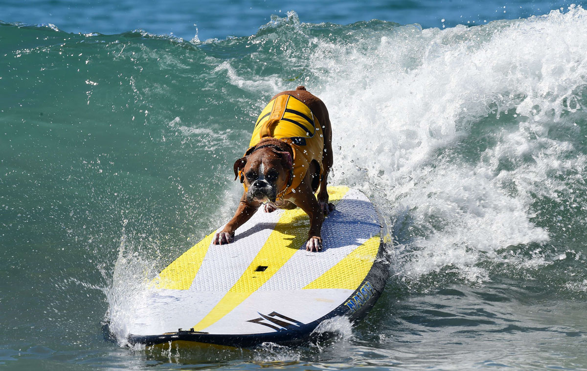 Surf's up for these dogs in Southern California