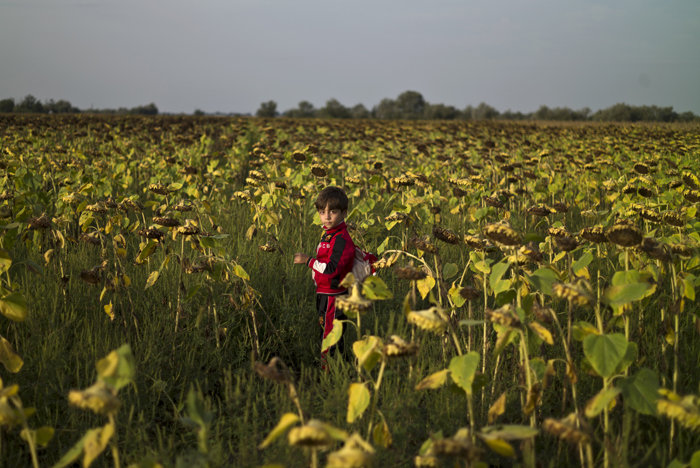 A Syrian refugee boy walks in a sunflower field while he and other migrants wait inside and outside a bus before being taken by Hungarian police to board a train to the Austrian border, in Roszke, southern Hungary, on Tuesday. The Hungarian government was expected to decide Tuesday to deploy the army to its border with Serbia as a set of harsh new laws meant to stop the huge flow of refugees and other migrants through the country took effect. With Hungary cracking down, desperate people fleeing Syria, Afghanistan and elsewhere struggled to make it into the country, hoping to reach Western Europe before it was too late. (Muhammed Muheisen/AP)