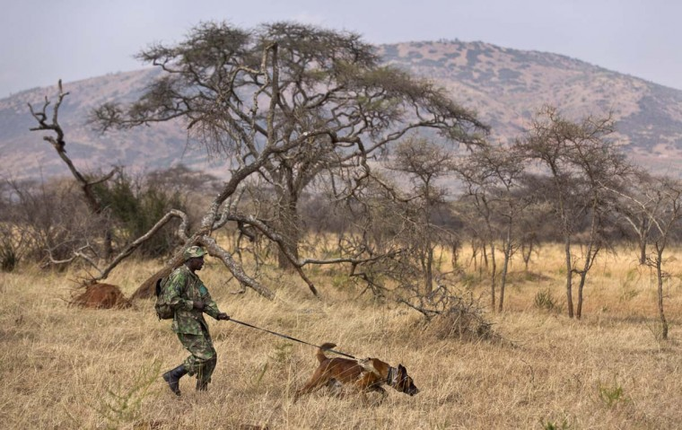 In this photo taken Monday, Sept. 7, 2015, tracker dog Bruno, 4, leads his handler Emmanuel Habimana across the savannah as he follows the scent of hidden park rangers playing the role of poachers, during a training exercise in Akagera National Park, eastern Rwanda. The park is using a former South African military dog handler to train a team of tracker dogs in the pursuit of wildlife poachers, following the dogs' earlier deployment in the search for Lord's Resistance Army (LRA) members in the Central African Republic.  || CREDIT: BEN CURTIS - AP PHOTO