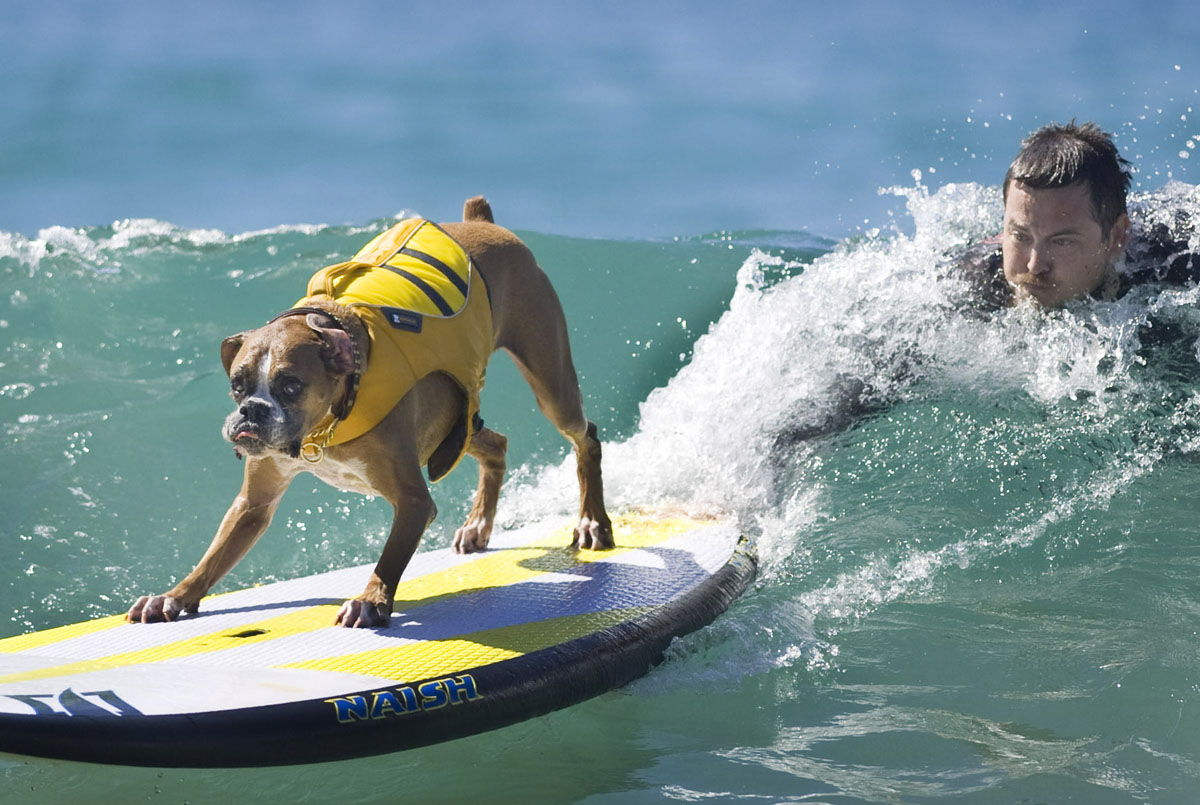 surf�s up for these dogs in southern california