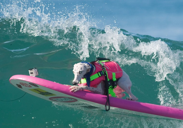 Beans, a whippet owned by Jen Havens, competes in the Unleashed Surf City Surf Dog contest in Huntington Beach, Calif., Sunday, Sept. 27, 2015. (Mindy Schauer/The Orange County Register via AP)