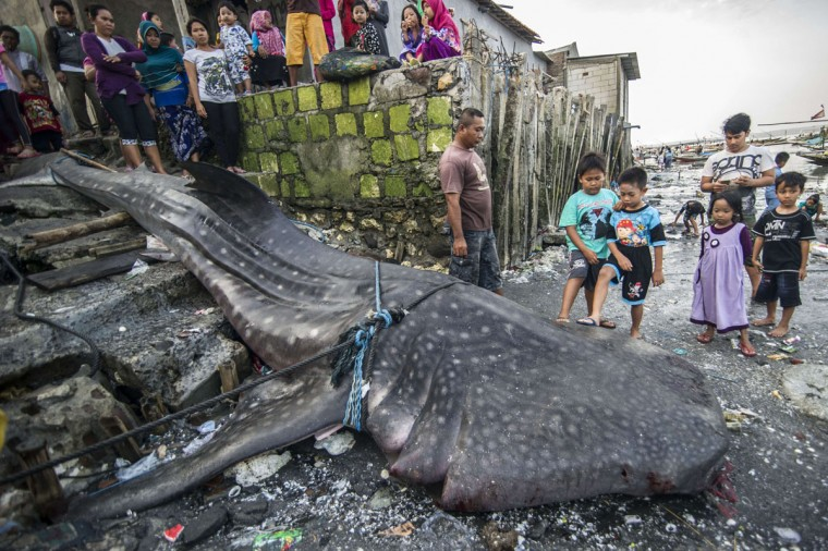 Locals gather around the carcass of a dead whale shark, caught by fishermen in the sea off of Surabaya, on the East Java island, on October 12, 2015. Fishermen originally planned to cut the giant fish measuring seven meters and weighing two tons and sell its meat but authorities from local fishery agencies arrived and negotiated with villagers to bury the whaleshark. Indonesia in 2013 has declared the whale shark a protected species, including it in the International Union for Conservation of Natures red list of threatened species. Despite their mammoth size, these docile sharks, the largest fish in the sea, are filter feeders and are harmless to humans. (AFP Photo/Juni Kriswanto)