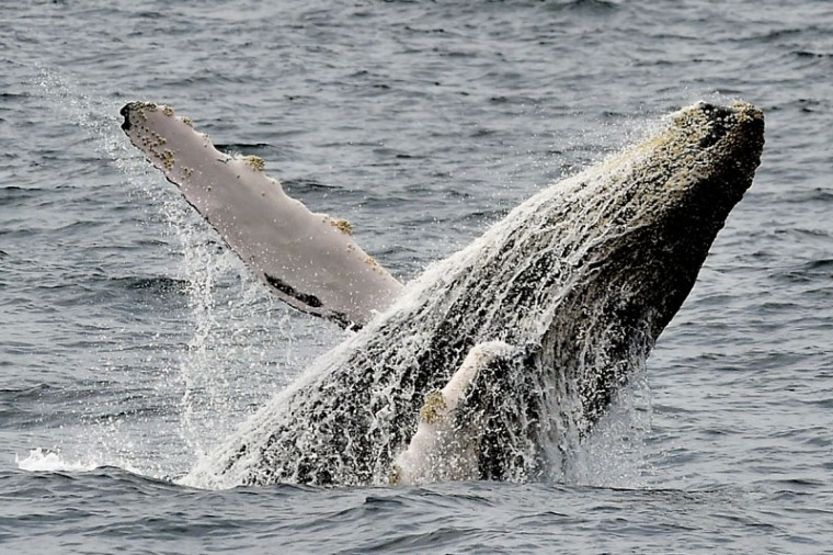 Picture of a humpback whale taken off the coast of Puerto Lopez, Manabi, in Ecuador on Wednesday. During southern winter every year, humpback whales migrate to breed more than 7,000 km from the cold waters of the Antarctic to the more temperate regions around the Equator. (RODRIGO BUENDIA/AFP/Getty Images)