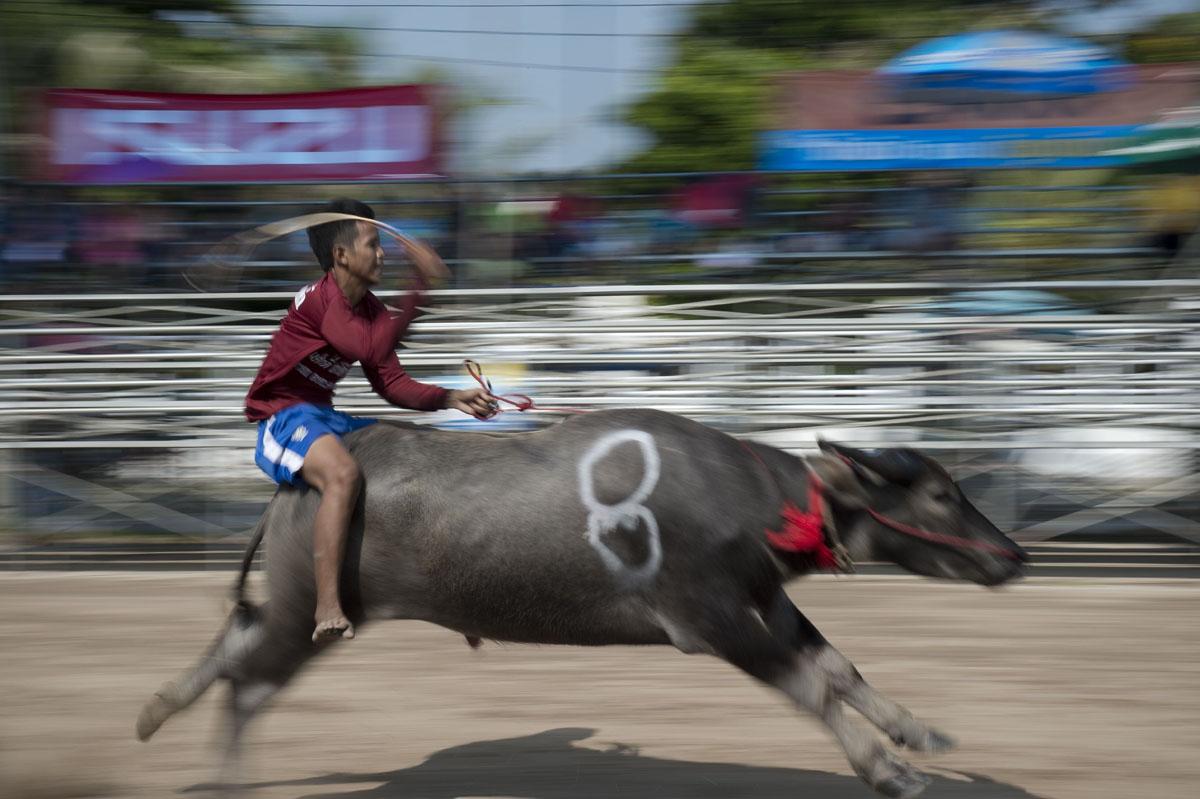 Annual buffalo races in Chonburi, Thailand