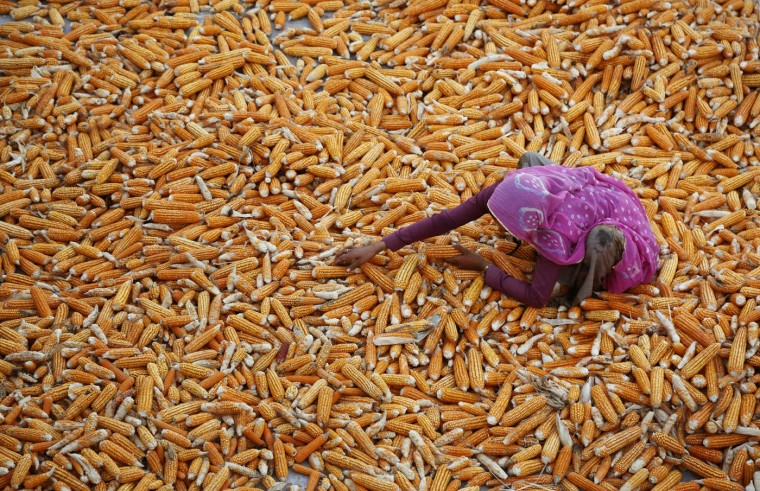 An Indian woman farmer dries the maize crop at Aloli village, about 90 kilometers (56 miles) southeast of Ajmer, India's western state of Rajasthan, Thursday, Oct. 8, 2015. Maize is an important cereal crop in the world after wheat and rice. (AP Photo/Deepak Sharma)