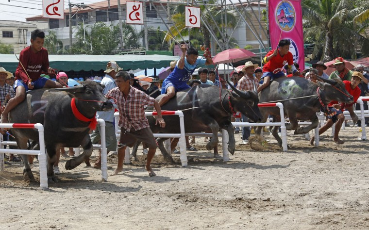 Jockeys leave the starting gate during the annual water buffalo race in Chonburi Province south of Bangkok, Thailand, Monday, Oct. 26, 2015. The annual race is a celebration among rice farmers before harvesting rice. (AP Photo/Sakchai Lalit)