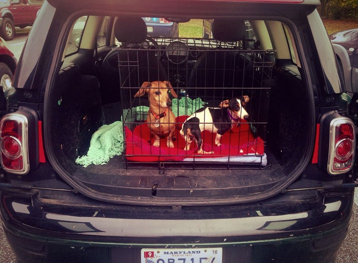 Transport time… These sibling dachshunds are on their way to another vet hospital to receive the extra care they require.