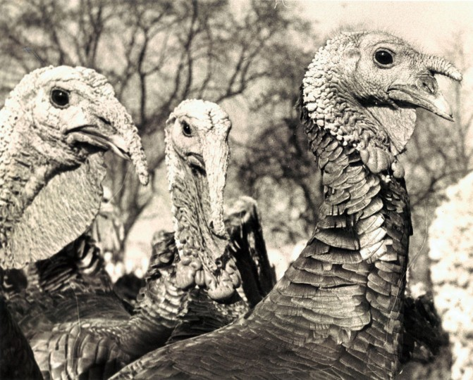 This trio of gobblers seems anything by thankful about Thanksgiving. They're waiting it out on Milton E. Schrufer's farm near Sparks, Md. (Ralph Robinson/Baltimore Sun, 1963)