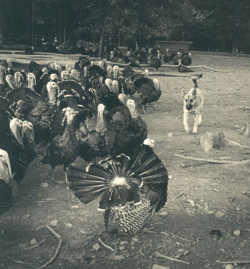 A dog herds the turkeys on Howard Curtis' farm. (Richard Stacks/Baltimore Sun, 1964)