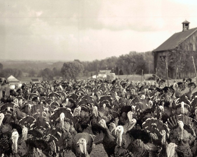 A few of the 4,000 turkeys located on the Hab Nab Turkey Farm, twenty miles out of Baltimore on York Road. (Robert Mottar/Baltimore Sun, 1947)