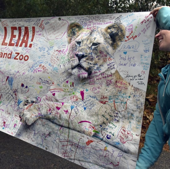 November 19, 2015 - Erin Cantwell, giraffe house area manager at The Maryland Zoo in Baltimore holds and end of a poster that bids farewell to Leia, a two year and six week old lioness born at The Maryland Zoo in Baltimore.  (Kim Hairston/Baltimore Sun)