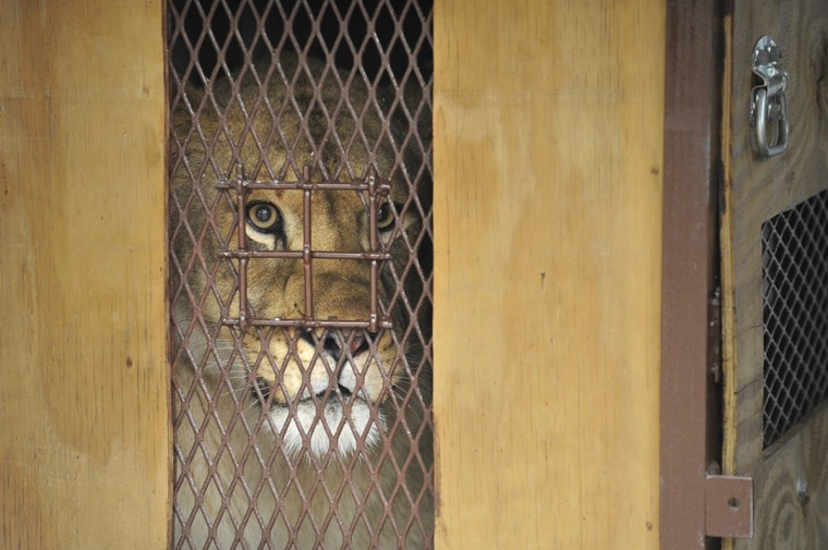 November 19, 2015 - Leia, a two year and six week old lioness born at The Maryland Zoo in Baltimore, looks out from a crate on the back of a van. Leia is being moved to the Cameron Park Zoological and Botanical Society in Waco, TX where she can grow up in an unrelated pride of a three-year-old male and a 17-year-old female..  Kim Hairston/Baltimore Sun. 2492.