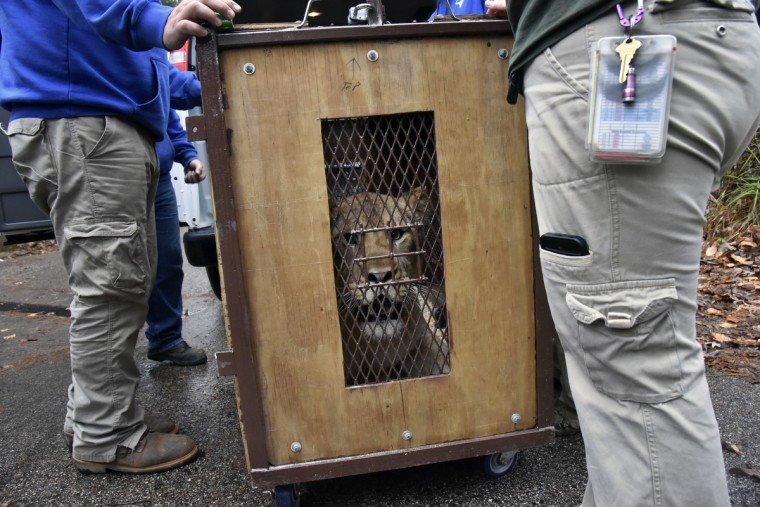 November 19, 2015 - Leia, a two year and six week old lion born at The Maryland Zoo in Baltimore, is being moved to the Cameron Park Zoological and Botanical Society in Waco, TX where she can grow up in an unrelated pride of a three-year-old male and a 17-year-old female. (Kim Hairston/Baltimore Sun)