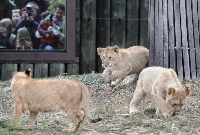 "February 23, 2014 -  Leia (center) stalks her ""siblings"" Zuri (left) and Luke (right.)  The lion cubs were photographed on their second day on public exhibit.  (Photo by Jeffrey F. Bill)"