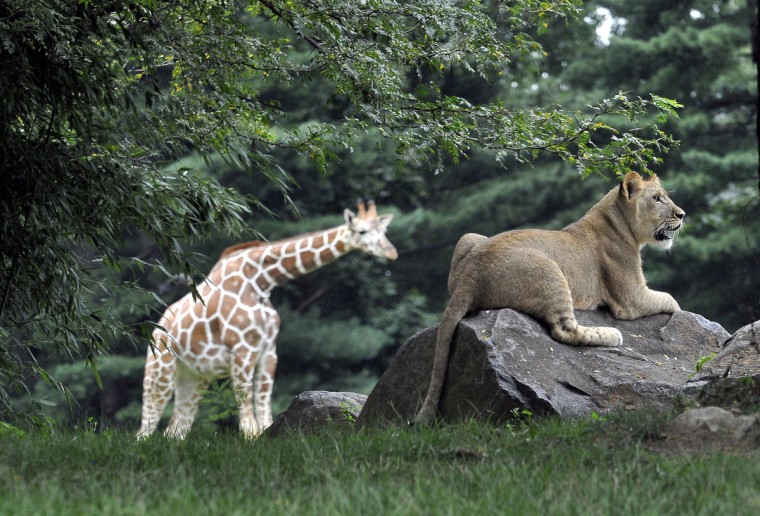 July 26, 2015 - Nearly 10-months old, Leia watches a giraffe (not pictured) in the giraffe yard while perched a rock at the Maryland Zoo in Baltimore. (Photo by Jeffrey F. Bill)