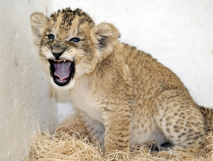 "Novemver 07, 2013  - Now 5-week old, Leia's growing teeth are displayed as she ""meows.""  She is photographed behind the scenes off exhibit at The Maryland Zoo in Baltimore. (Photo by Jeffrey F. Bill)"
