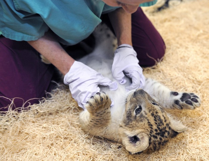 November 07, 2013 - Maryland Zoo's Carey Ricciardone spends a little play-time w/ 5-week-old Leia.  (Photo by Jeffrey F. Bill)