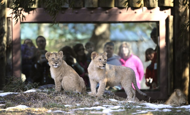February 22, 2014 -  At nearly 5-months old, Leia (left) and her brother Luke (right) are are photographed on public exhibit for the 1st time at The Maryland Zoo in Baltimore. (Photo by Jeffrey F. Bill)