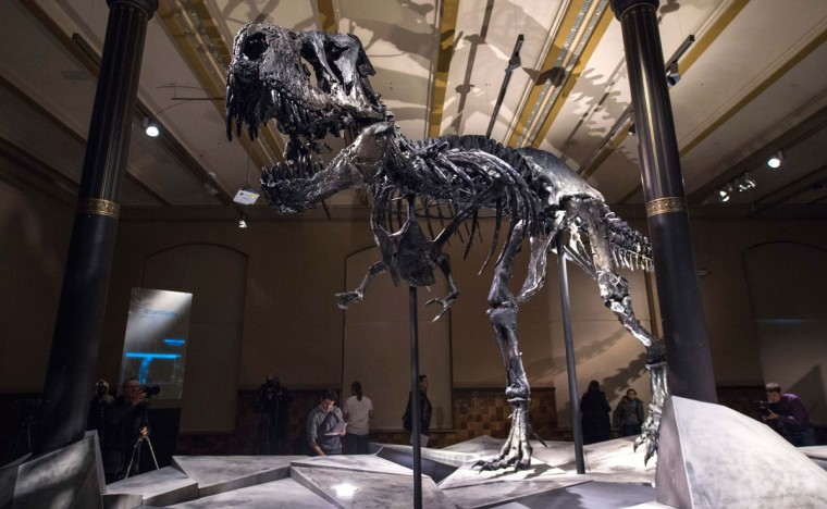 "An original and nearly complete skeleton of a Tyrannosaurus Rex dinosaur named "" Tristan Otto "" is on display at Berlin's Natural History Museum on December 16, 2015. The 12-metre-long, 3,5-metre-high skeleton was found in Montana, USA in 2010 and is some 66 Million years old. It will be on show at the museum starting December 17, 2015 for a period of three years. (AFP / John MacDougall)"