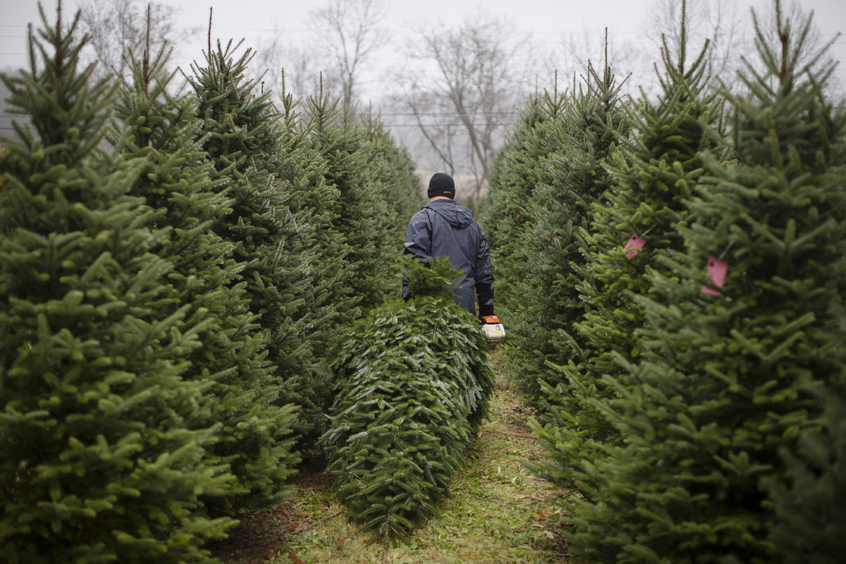 60,000 Christmas trees in family-owned Ohio farm