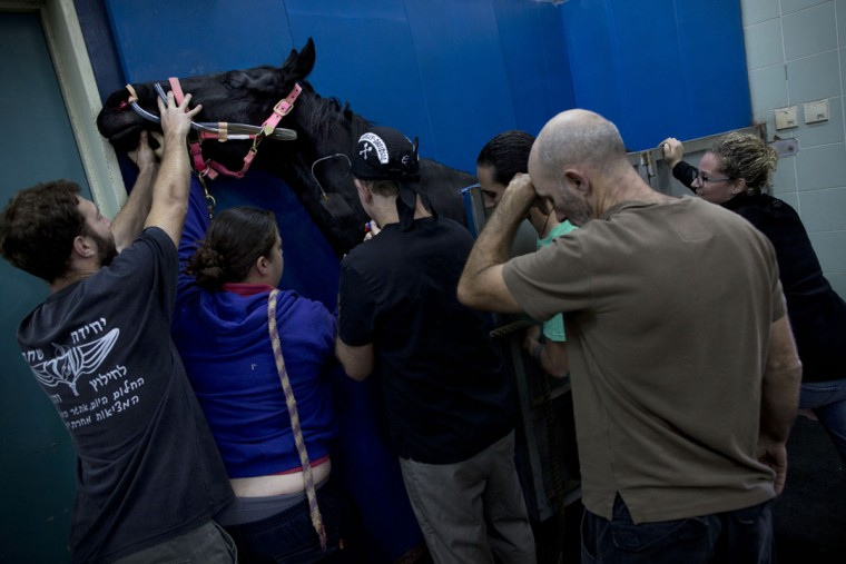 Veterinarians and students hold a horse as he is being anesthetized before a surgery at the Hebrew University's Koret School of Veterinary Medicine in Rishon Lezion, Israel. To prepare a horse for surgery, anesthesiologists slip an infusion into the animalís jugular vein, which is harder to dislodge than an IV in the leg. (AP Photo/Oded Balilty)